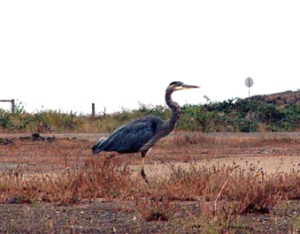 Henry the Blue Heron on his morning hunt.