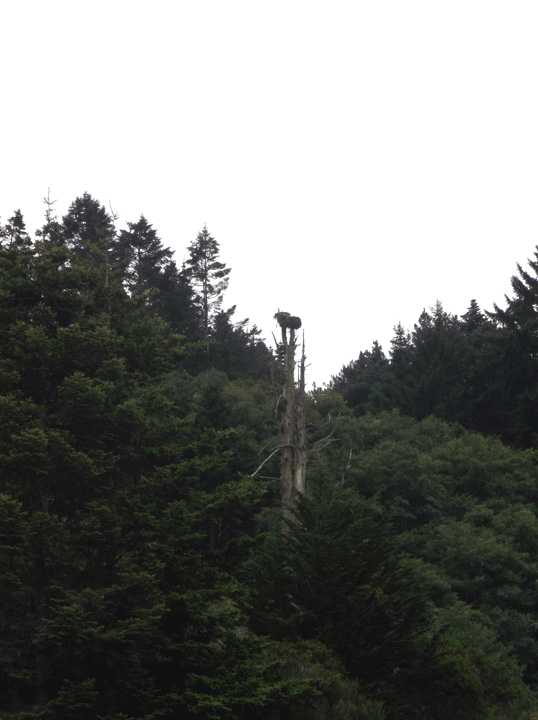 An osprey nest in the top of a dead tree.