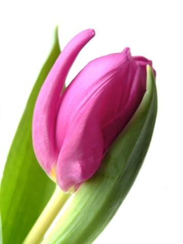 Tulip Cradle