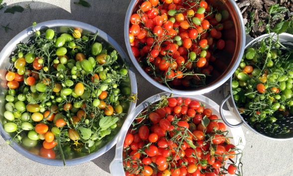 Fresh Toms Photographer: Mary Charlebois
