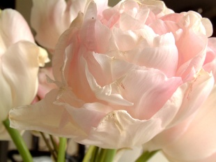 Frilly Tulip