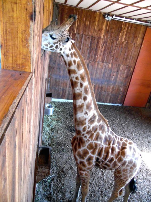 feeding-giraffe-02-med