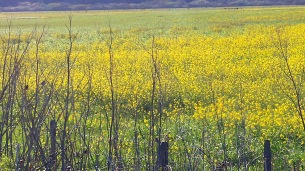 yellow-field-stronatta-dairy-01-24x-by-charlebois