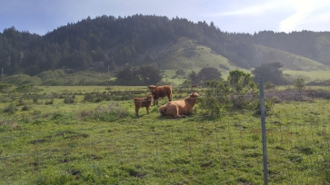 english cattle-03 BY CHARLEBOIS
