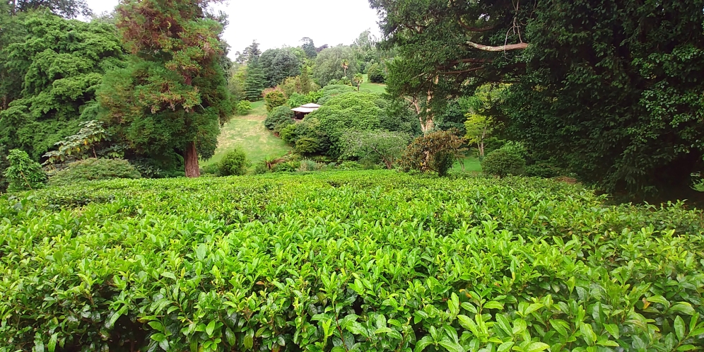 Tea plantation at Tregothnan, Cornwall