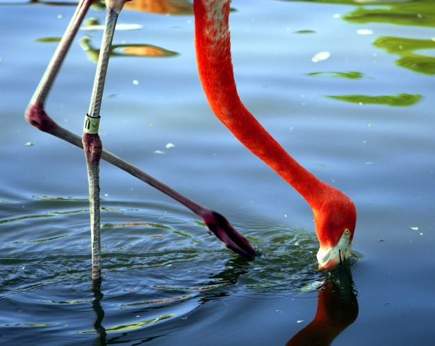flamingo-02 BY CHARLEBOIS