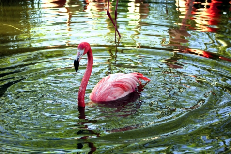 flamingo-03 BY CHARLEBOIS