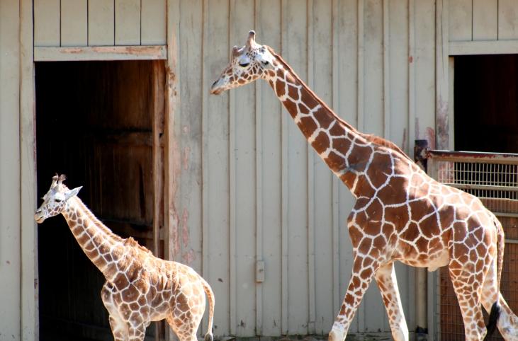 giraffe-01 BY CHARLEBOIS
