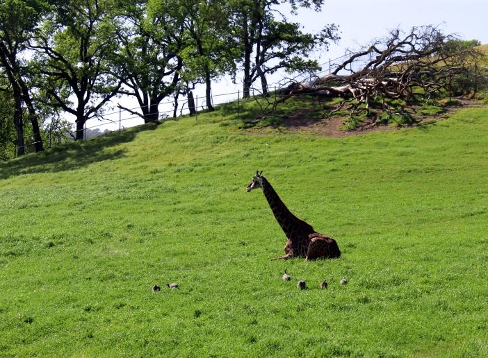 giraffe-04 BY CHARLEBOIS
