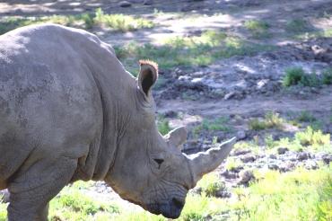 rhino-01 BY CHARLEBOIS