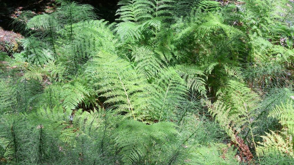 Fern Forest - Mendocino Coast California.
