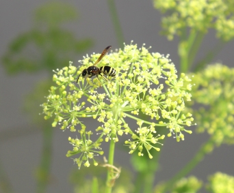 parsley n wasp-01 12x BY CHARLEBOIS